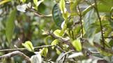 布朗山8大村寨普洱茶特点,布朗山普洱茶知识大全