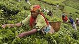 肯尼亚茶产业面临工作机会流失——机器升级逐步取代更多人工