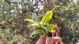 推动我国茶叶行业持续发展(附全国政策及部分地区十四五规划汇总)