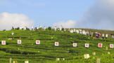 福鼎白茶澳门威尼斯官网集锦:茶旅、茶农