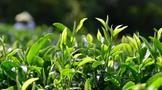 四川省委十一届九次全会,对四川茶产业提出明确新要求