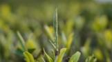 一文读懂,白茶的三大分类体系●!
