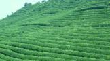改良土壤提升茶叶品质