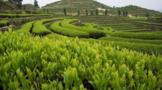 茶叶种植施肥四原则