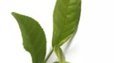 那些原生安溪的乌龙茶树种