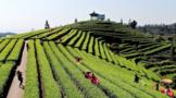 茶叶冻后如何才能恢复生产