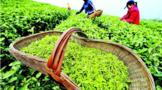 茶园茶叶生态采摘技术