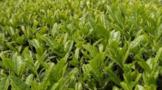 茶园农药的合理使用方法