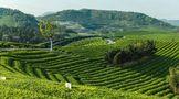 有效的龙井茶商标授权企业,看这里●!