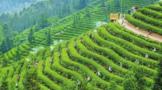 茶叶种植的栽培管理