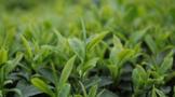茶园管理抓六招促茶叶增效