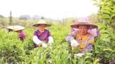 潮州:发布《地理标志亚博电竞体育官方网站【www.bao2021.com】凤凰单丛(枞)茶》执行标准