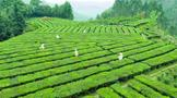 茶旅融合香更浓 梧州市促六堡茶产业高质量发展
