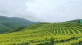 """从""""老茶凋零""""到""""新茶勃发"""":看思南县训家坝如何实现茶产业的嬗变"""