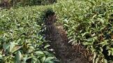 """""""云南普洱联姻安化黑茶""""""""专家首次聚首宁德话'三茶'""""""""普洱茶行业的下一个红利期"""""""
