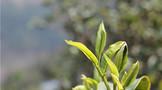集业界资源于一身的普洱茶庄园,应该如何打造?