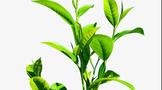 """科学家查出 茶树""""杀手""""抗药性从何而来"""