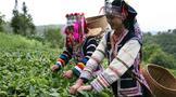 """思茅区倚象镇坚持 """"四落实"""" 加快有机茶产业发展步伐"""