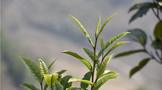 一周热门:2021上半年茶叶出口持续低迷、年份乐鱼体育在线下载专家论坛、大益洞天福地版8592
