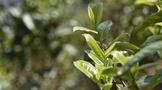 加强特色资源研究成果转化运用 科技助力云茶产业提质增效