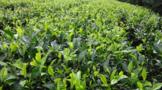 勐海县:科技创新助推云茶产业发展