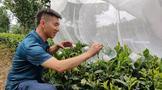 积极开展病虫监测助力茶园绿色防控