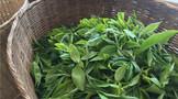 有名山没有名牌●!中国茶叶如何走出产业困局?