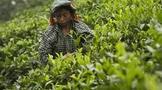 印度茶产业催促政府尽快达成与孟加拉国茶叶达成特惠贸易协定