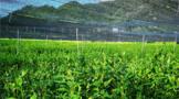 抹茶标准化生产技术