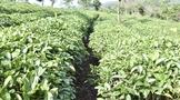三年内茶园有机肥替代化肥示范应用率达100%