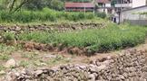 洪灾后茶树补救措施