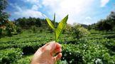 龙润茶86道质量把关(十三):鲜叶储存把关