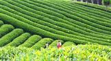 什么样的茶树品种才能称为无性系良种?