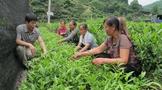 吉首:由茶资源大市向茶产业强市跨越