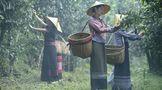 龍潤茶86道質量把關(十四):鮮葉運輸把關