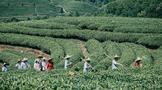 第二届传承者·武夷岩茶(大红袍)制作技艺本真队小组活动武夷山星村镇举行