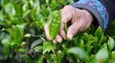 贵州省关于抢抓季节做好当前秋茶产销工作的通知