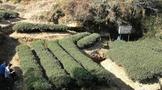 """肖坤冰:""""山场""""与""""岩韵"""":武夷茶的风土条件与市场价值建构(四)"""