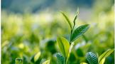 茶园应对暴雨生产技术指导建议