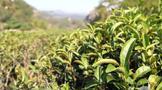 """肖坤冰:""""山场""""与""""岩韵"""":武夷茶的风土条件与市场价值建构(五)"""