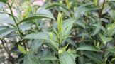 覆盖最广的涉茶农残新国标实施了!