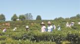 宁洱同心镇:多举措打造现代茶叶产业园