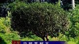建始县马坡百年茶树王,仍存一株年产鲜叶88斤