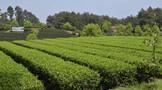 """展望""""十四五""""  夹江优质绿茶产业发展  呈现出勃勃生机"""