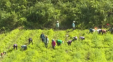 黔江:发展白茶产业 助力乡村振兴