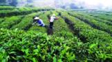 惠州惠东:活水润三农 茶香出深山