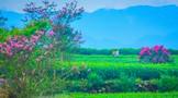 名山区今年茶叶采摘渐近尾声