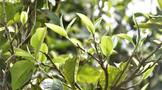 三部门关于促进茶产业健康发展的指导意见