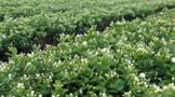 横州茉莉飘香占比世界6成,广西将加快打造千亿元茶产业