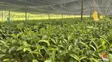 广南传统茶产业的破冰之路